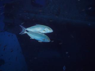Amberjacks near Tug Boat Rozi - Cirkewwa Dive Site - Malta