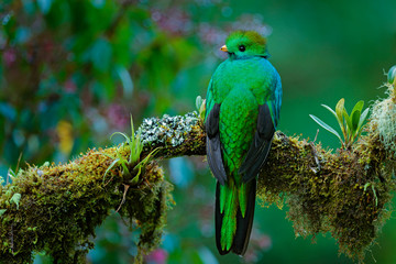 Magnificent sacred green and red bird. Detail portrait of Resplendent Quetzal. Resplendent Quetzal, Pharomachrus mocinno, from Savegre in Costa Rica with blurred green forest foreground and background