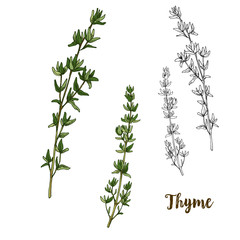 Full color realistic sketch illustration of thyme