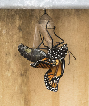 Monarch butterfly emerging from clear chrysalis against a brown wooden fence