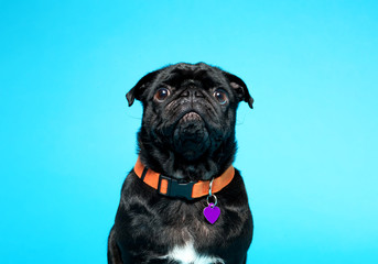 Cute black pug on a blue background