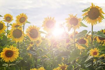 Sunflower flowers in an ecologically clean area with sunny hotspot