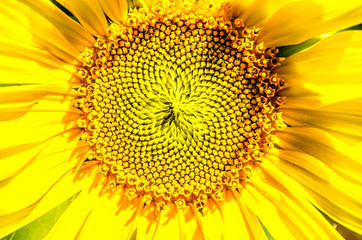 Heart of a large flowering sunflower.