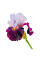 two colored iris isolated on white