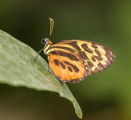 Butterfly profile on leaf showing depth of field