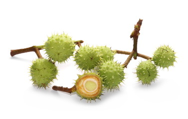 Several young green chestnuts on branch isolated on white background