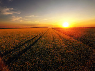 Sunset over blooming canola