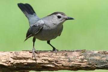 Fotoväggar - Gray Catbird (Dumetella carolinensis)