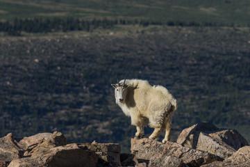 Mountain Goat in the Colorado Mountains