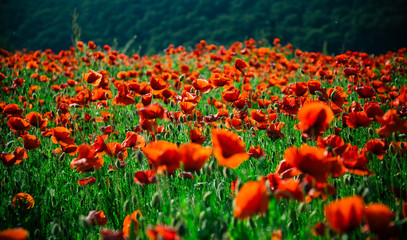poppy seed or red flower in field