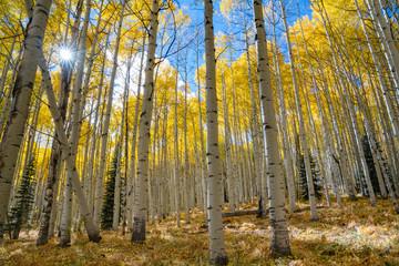 Autumn Aspen Sunburst
