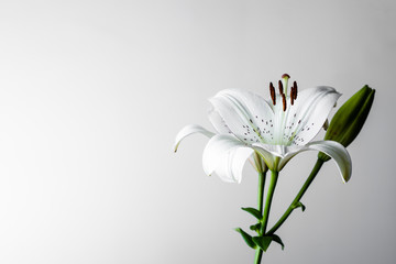 White lily on a light background.