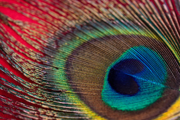 Peacock feather closeup in red background