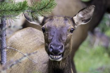 Smiling Elk Cow