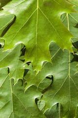 Background of summer green leaves of hornbeam
