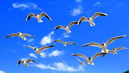 Schwarm von Lachmöwen fliegt vor blauem Himmel mit weißen Wolken