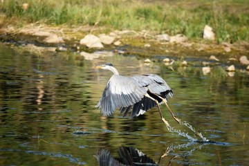 Great Blue Heron on Takeoff