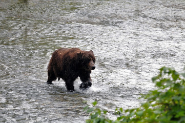 Hyder, Alaska Grizzly