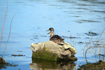 Mallards Couple
