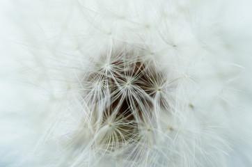Closeup of dandelion - natural background