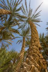 Liwa Palms