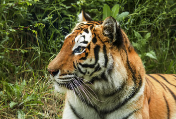 Amur tiger in a cage in a safari park, selective focus
