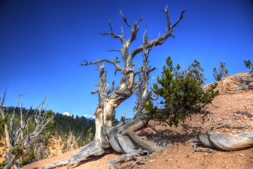 Bristlecone Pine Survives Against All Odds