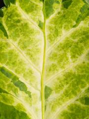 Camouflaged Malaysian Aralia Texture Leaf