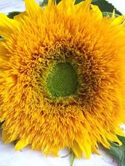 Beautiful fluffy sunflower summer macro photo
