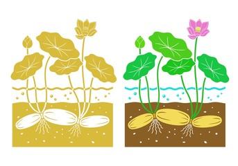 v_lotus root icon