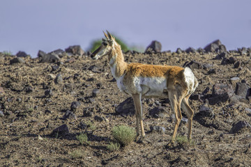 Antelope on rocky ground.