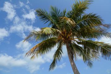 Top of coconut tree under blue sky