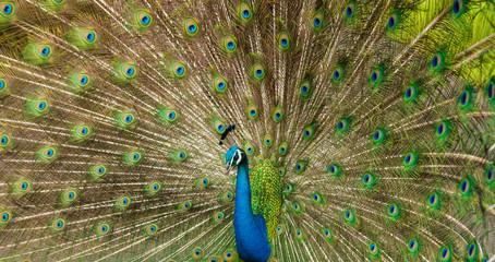 The Many Eyed Peacock