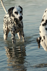Dalmatian dog in the water in a lake