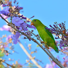 Vernal Hanging Parrot Bird