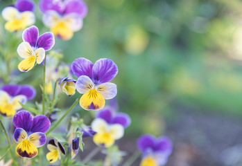 Papiers peints Pansies Purple and Yellow Johnny Jump-Ups (Violas) with green background