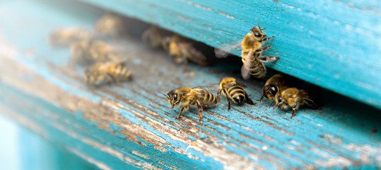 Photo sur Plexiglas Bee Life of bees. Worker bees. The bees bring honey.