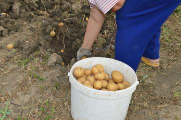 Женщина копает картошку.
