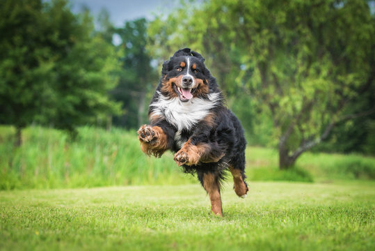 Happy bernese mountain dog playing in the yard
