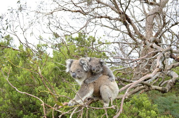 Mother and baby koala on a tree near the Great Ocean Road in Australia.