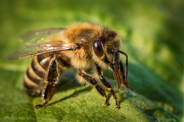 Macro image of a bee from a hive on a leaf