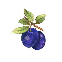 Realistic drawing of plum.