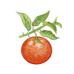 Realistic drawing of mandarin.