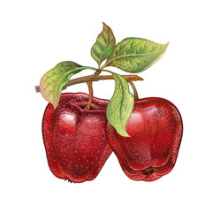 Realistic drawing of apple.