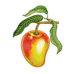 Realistic drawing of mango.