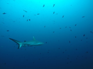 A white tip reef shark hunting at a reef in the Maldives