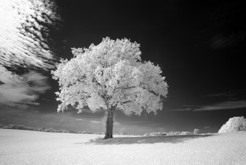 Infrared - Infrarot A tree in the field
