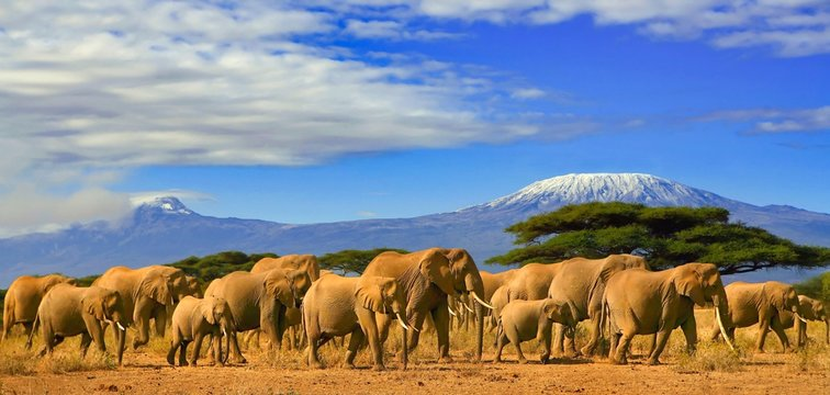 Herd of african elephants whilst on a safari trip to Kenya and a snow capped Kilimanjaro mountain in Tanzania in the background, under a cloudy blue skies.
