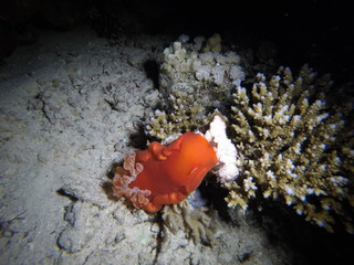 Red Sea, Egypt: Spanish Dancer during night dive