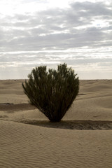 Heart shaped tree in the northern part of Sahara in Tunisia